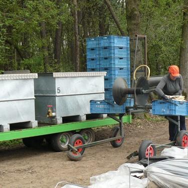 asperges-zaaien-oogsten-2