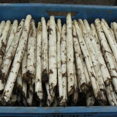 asperges-zaaien-oogsten-3